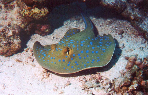 Blue-Spotted-Ray
